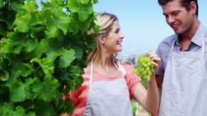 Happy couple harvesting grapes in vineyard