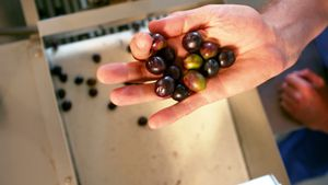 Hand full of olive over the olive processing machine