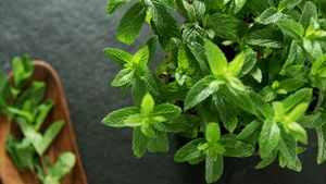 Basil herb on black background 4k