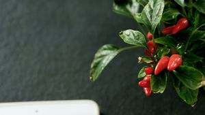 Close-up of chilli plant 4k