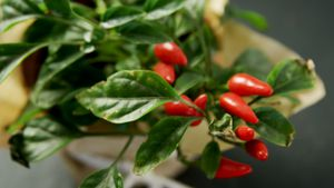 Red Chilli with leaves 4k
