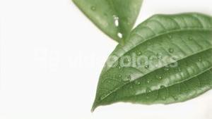 Drops falling in super slow motion from leaves