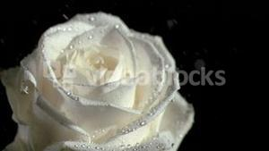 Water falling in super slow motion on white rose
