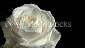 Rain falling in super slow motion on white rose