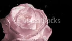 Rain falling in super slow motion on pink rose