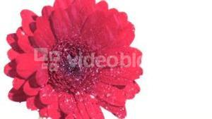 Water raining in super slow motion on pink gerbera