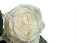 Rain elapsing in super slow motion on white rose