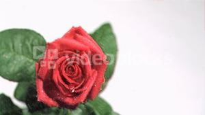 Rain in super slow motion falling on a rose