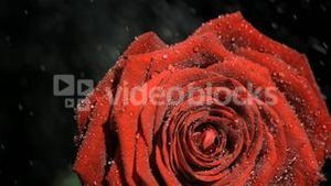 Downpour in super slow motion falling on a red rose