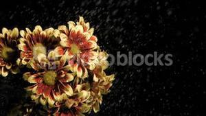 Chrysanthemums carinatum in super slow motion being wet