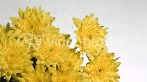 Yellow chrysanthemum in super slow motion being wet