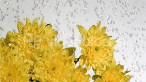 Drops of water in super slow motion falling on a chrysanthemum