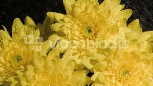 Yellow flowers in super slow motion being soaked