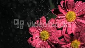 Beautiful flowers in super slow motion being watered
