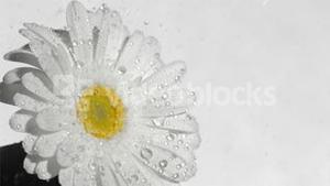 White gerbera daisy in super slow motion receiving raindrops