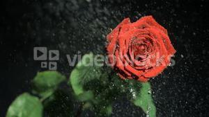 Red flower in super slow motion being watered