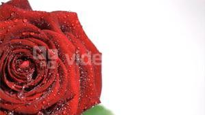 Red rose in super slow motion being soaked