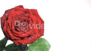 Raindrops in super slow motion falling on a red rose