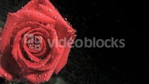 Red rose in super slow motion receiving raindrops