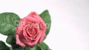 Rain in super slow motion flowing on a red rose