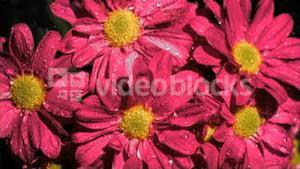 Bunch of pink flowers in super slow motion receiving water