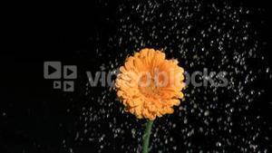 Drops of fresh water in super slow motion watering a flower