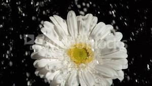 Downpour in super slow motion falling on a white gerbera