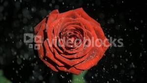 Beautiful red rose in super slow motion being watered