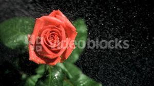 Red rose being watered in super slow motion