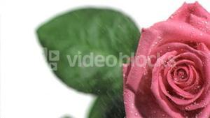 Water dripping in super slow motion on a pink rose