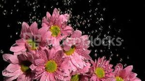 Water dripping in super slow motion on a pink daises