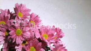 Water being dripped in super slow motion on a pink daises