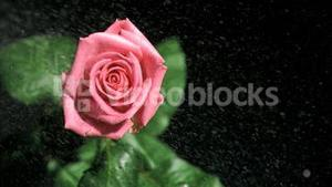 Rain falling in super slow motion on a pink rose