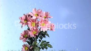 Rain falling in super slow motion on a pink daises