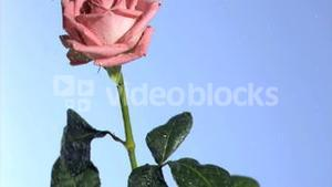 Rain dripping in super slow motion on a pink rose