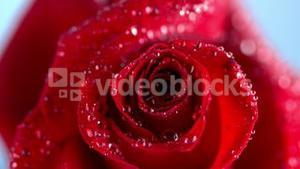 Close up of a wet red rose moving