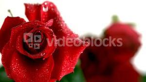 Raindrop falling on a red rose