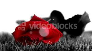 Red rose falling on a grey ground