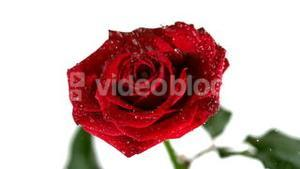 Rain drops falling on red rose