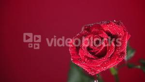 Rain drops falling on red rose on red background