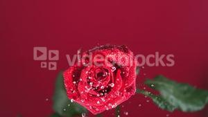 Red rose with dew drops shaking