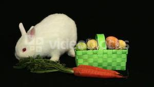 White bunny rabbit sniffing around a carrot and basket of easter eggs