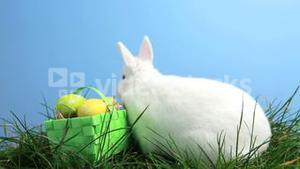 White bunny rabbit sniffing around the grass and basket of easter eggs