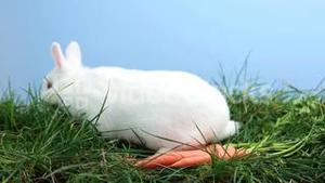 White bunny rabbit sniffing around the grass with some carrots