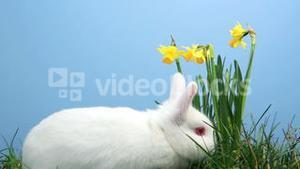 White bunny rabbit sniffing around the grass with daffodils