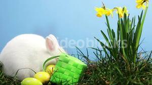 Bunny rabbit sniffing around the grass with daffodils and basket of easter eggs