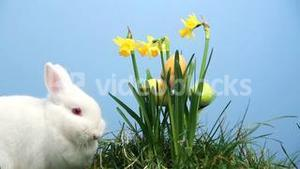 Bunny rabbit with easter eggs stuck in bunch of daffodils