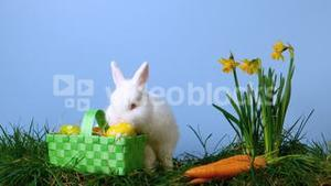 Cute white rabbit sniffing easter eggs in a basket besides daffodils