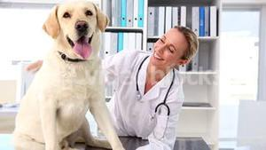 Vet checking a yellow labrador