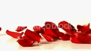 Red rose petals falling onto white surface
